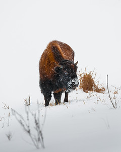 Baby Bison at Jester Park