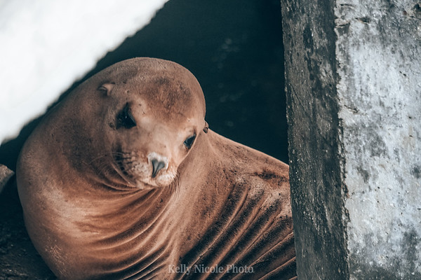 Wrinkly Sea Lion in CA