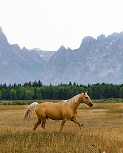 Horses of the Tetons.