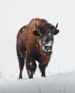 Jester Park Bison