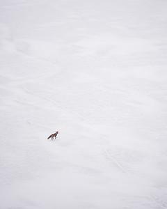 Fox on Saylorville Lake in Des Moines, Iowa.