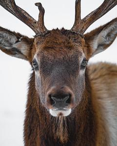 Jester Park Elk