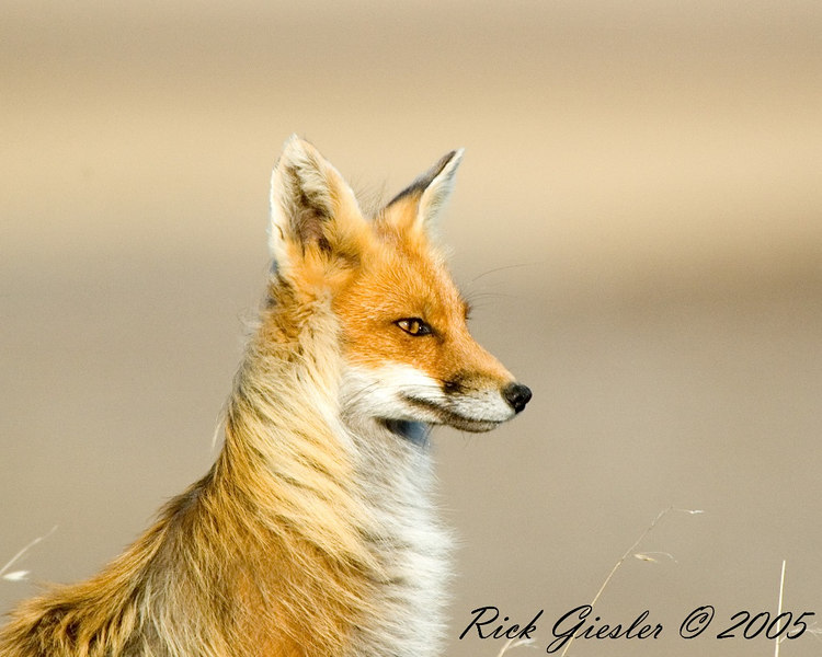 Red Fox 062005-2 small