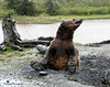 Brown Bear I copy