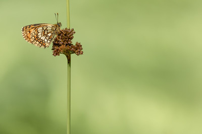 Heath Fritillary Buttefly