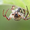 furrow web spider