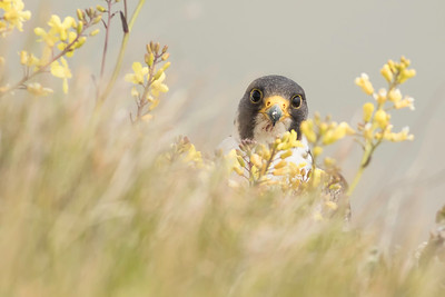 Peregrine Falcon with yellow sea kale flowers