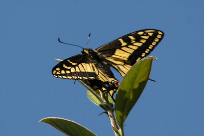 Anise Swallowtail - San Francisco, California