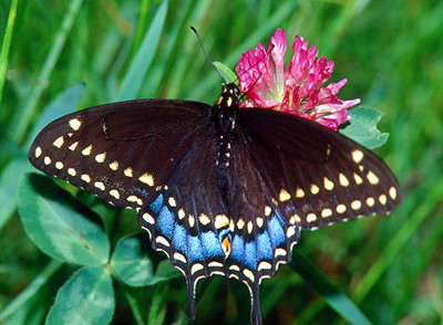 Black Swallowtail, female - South Park, Pennsylvania