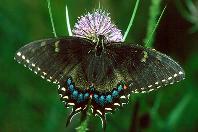 Eastern Tiger Swallowtail, dark female - Pittsburgh, Pennsylvania