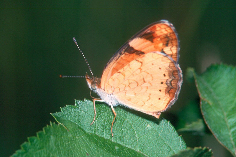 Pearl Crescent - South Park, Pennsylvania