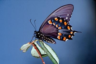 Spicebush Swallowtail - Pittsburgh, Pennsylvania
