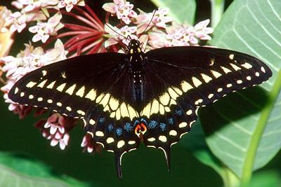 Black Swallowtail, male - Mingo Creek, Pennsylvania