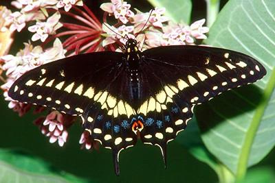 Black Swallowtail, male - Mingo Creek, Pennsylvania