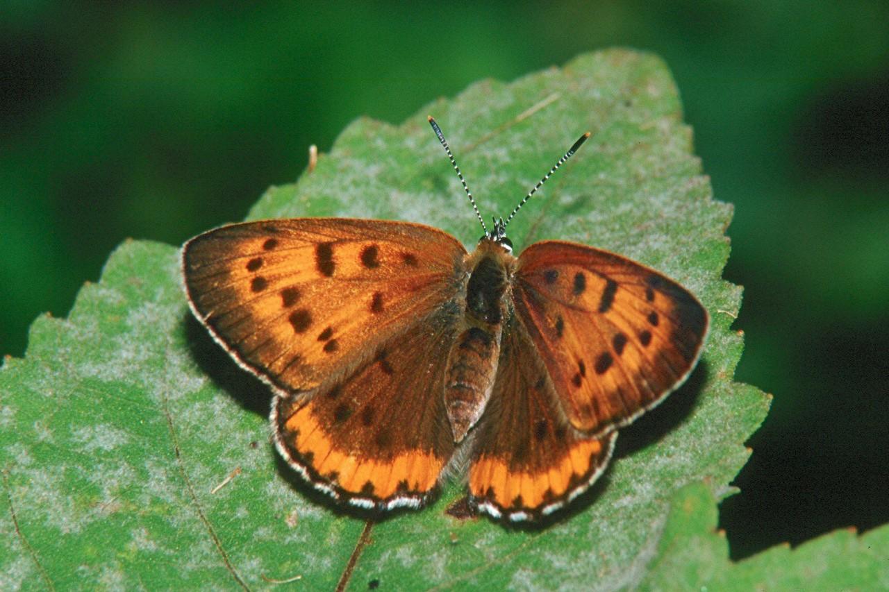 Bronze Copper, female - Buffalo Creek, Pennsylvania