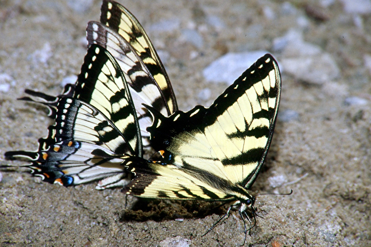 Eastern Tiger Swallowtails puddling - Donegal Lake, Pennsylvania