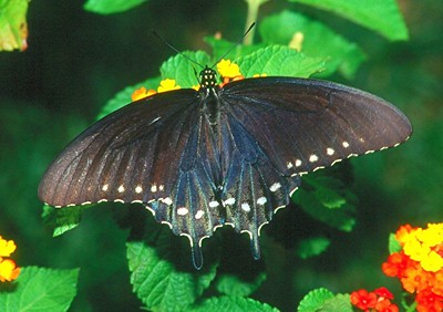 Pipevine Swallowtail - Pittsburgh, Pennsylvania