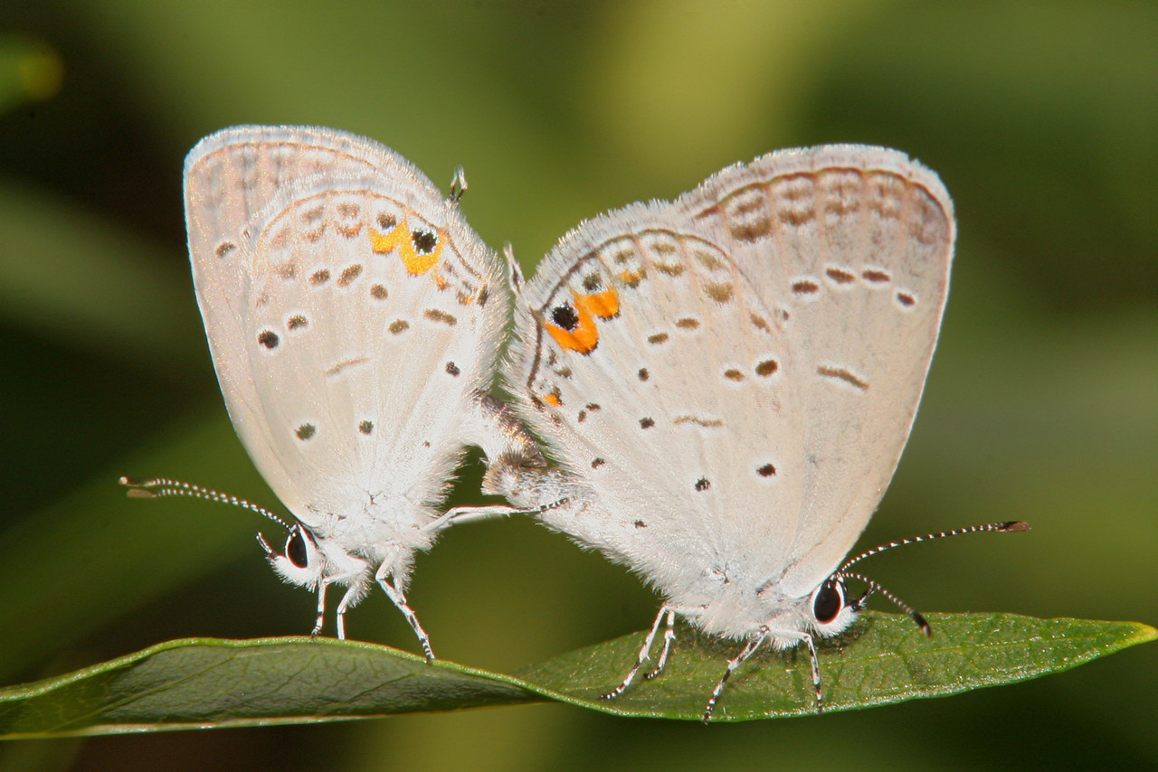 Mating Eastern Tailed-blue - Pittsburgh, Pennsylvania
