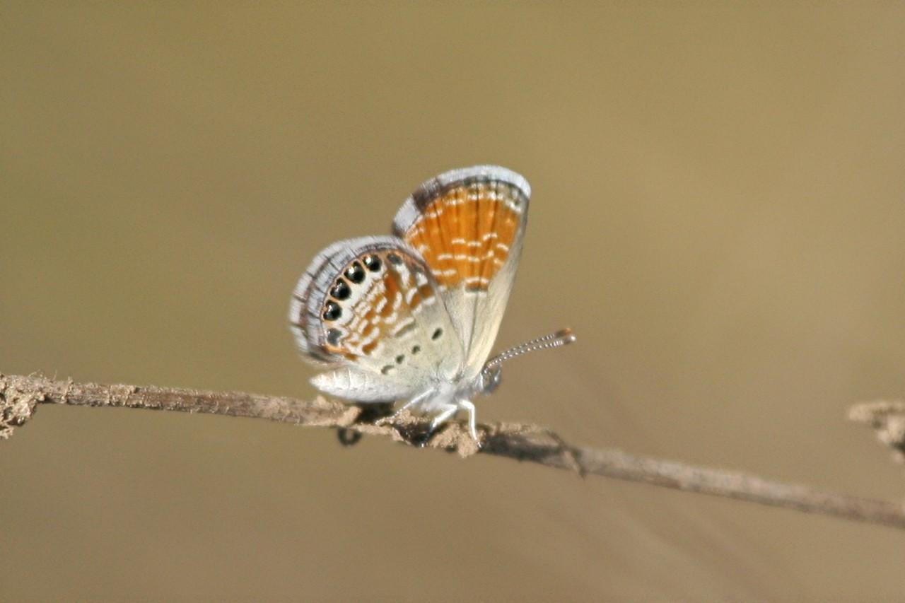 Western Pygmy Blue - Bolsa Chica Ecological Reserve, California