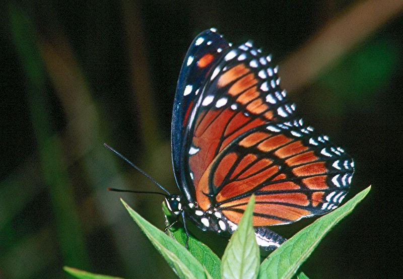 Viceroy, dark southern form - Everglades National Park, Florida