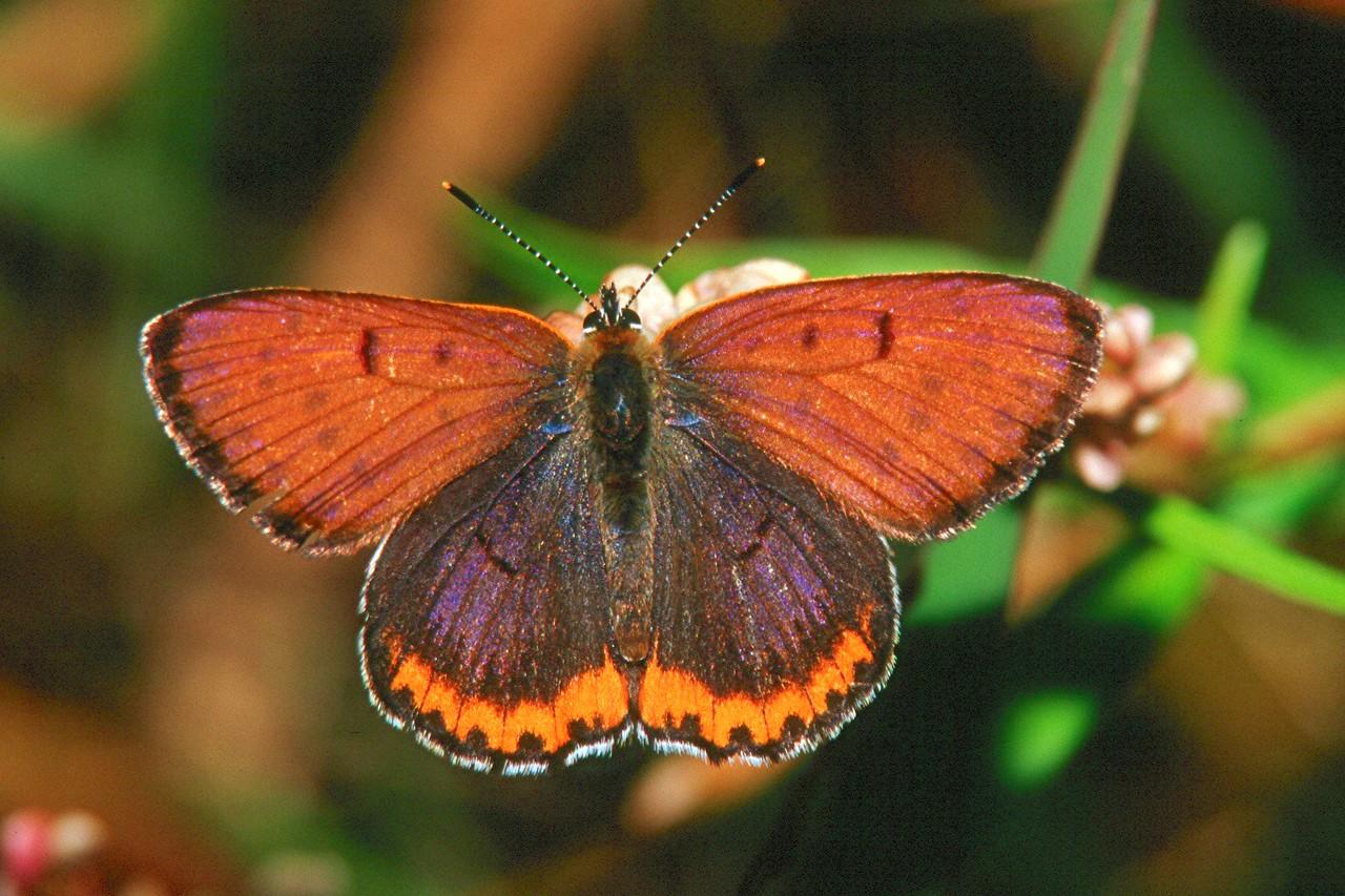Bronze Copper, male - Buffalo Creek, Pennsylvania