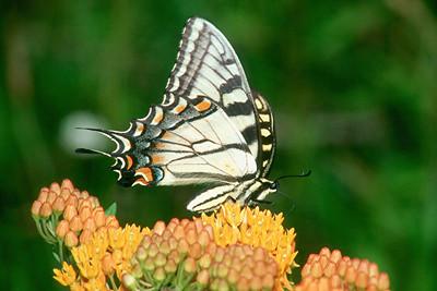 Eastern Tiger Swallowtail - South Park, Pennsylvania