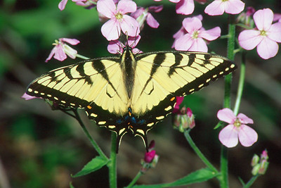 Eastern Tiger Swallowtail, male - Pittsburgh, Pennsylvania