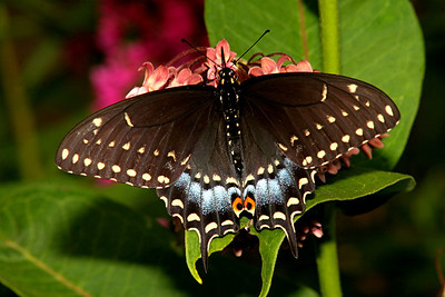 Black Swallowtail, female - Pittsburgh, Pennsylvania