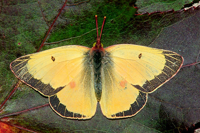 Orange Sulphur, male - South Park, Pennsylvania
