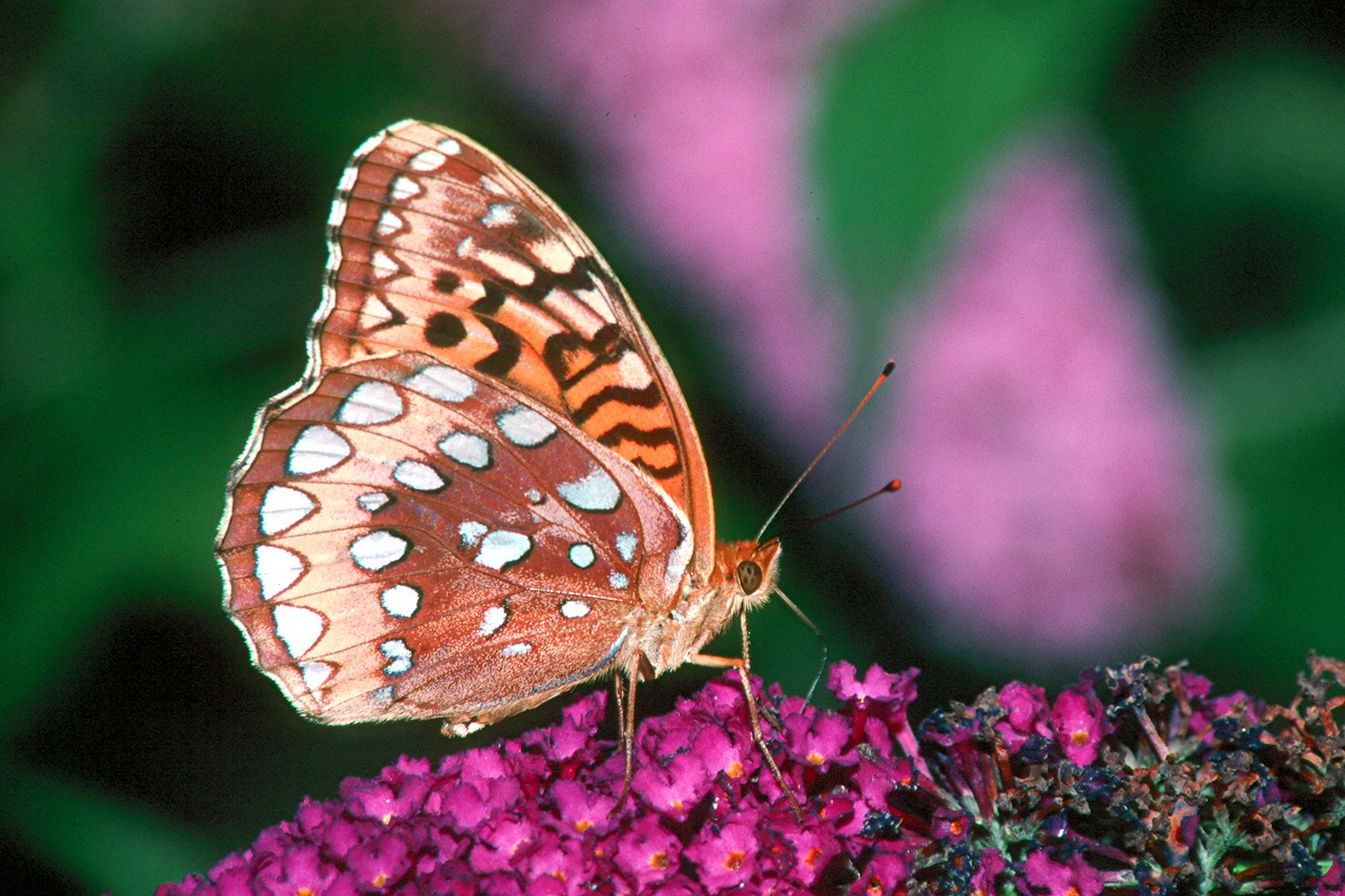 Great-spangled Fritillary - Pittsburgh, Pennsylvania