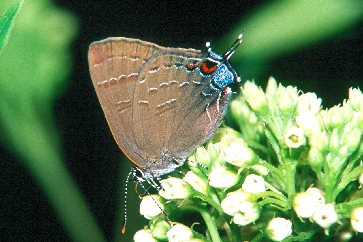 Banded Hairstreak - South Park, Pennsylvania