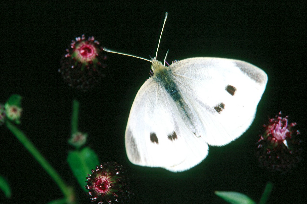 Cabbage White, female - South Park, Pennsylvania