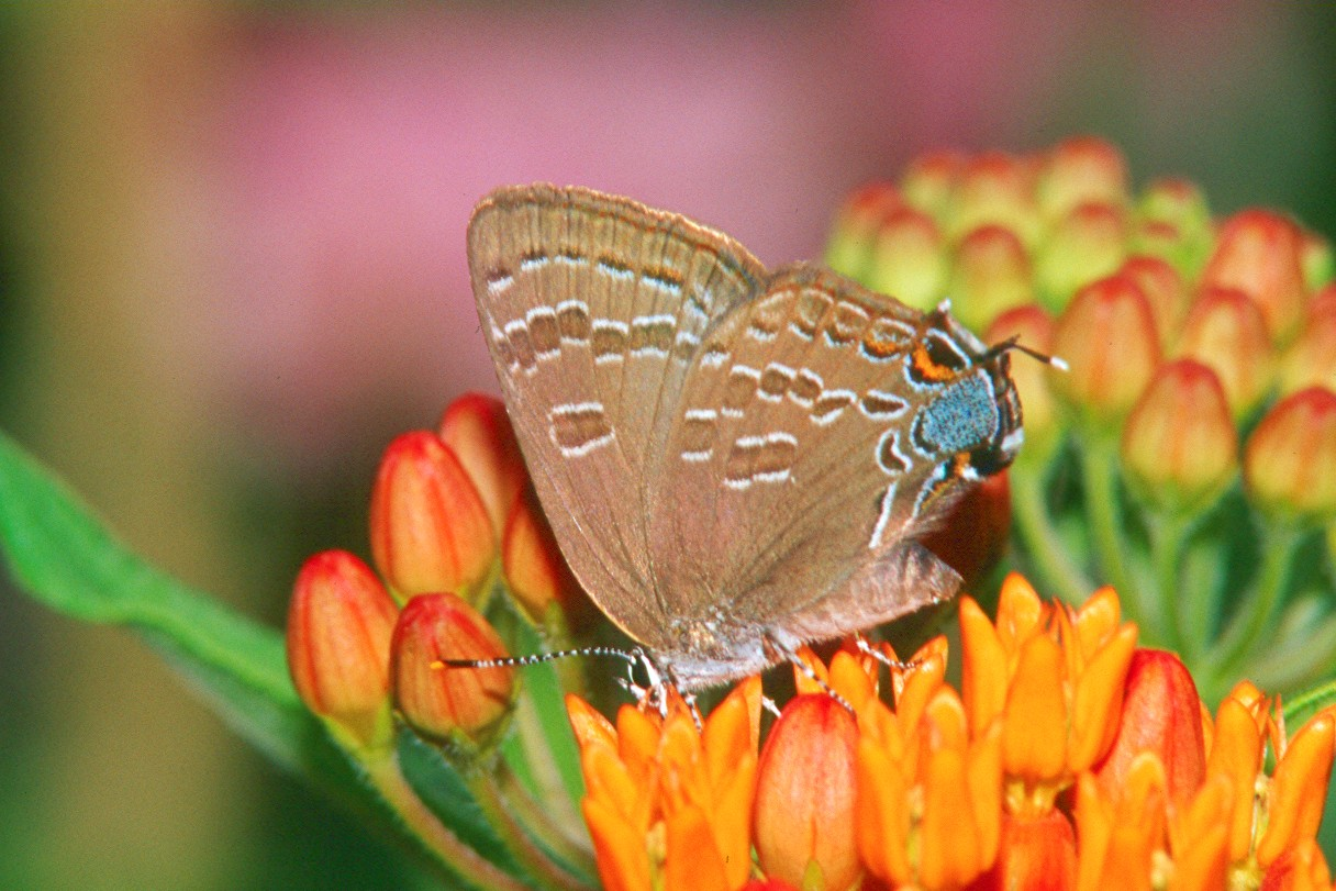 Hickory Hairstreak - Pittsburgh, Pennsylvania