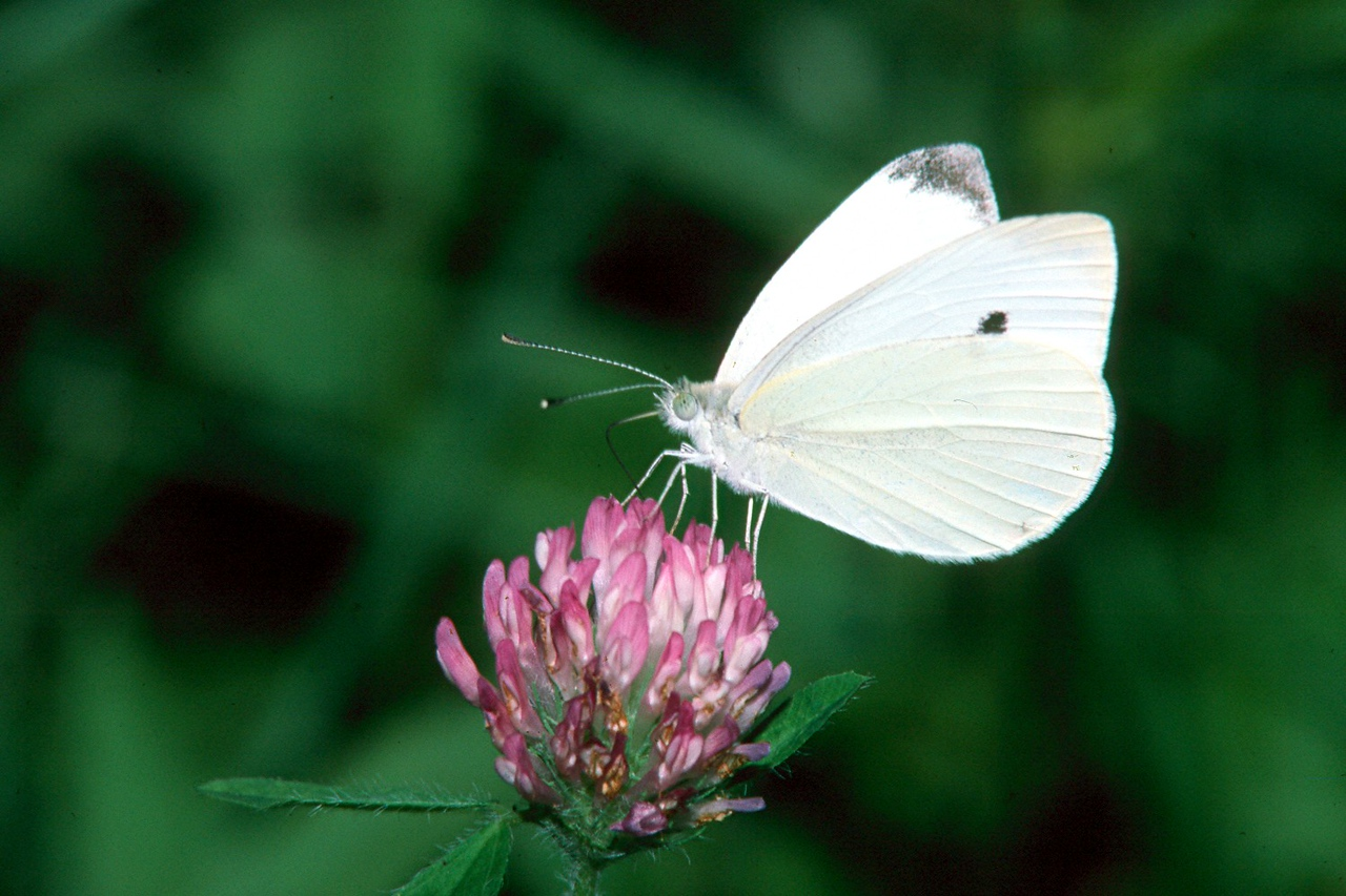 Cabbage White - South Park, Pennsylvania