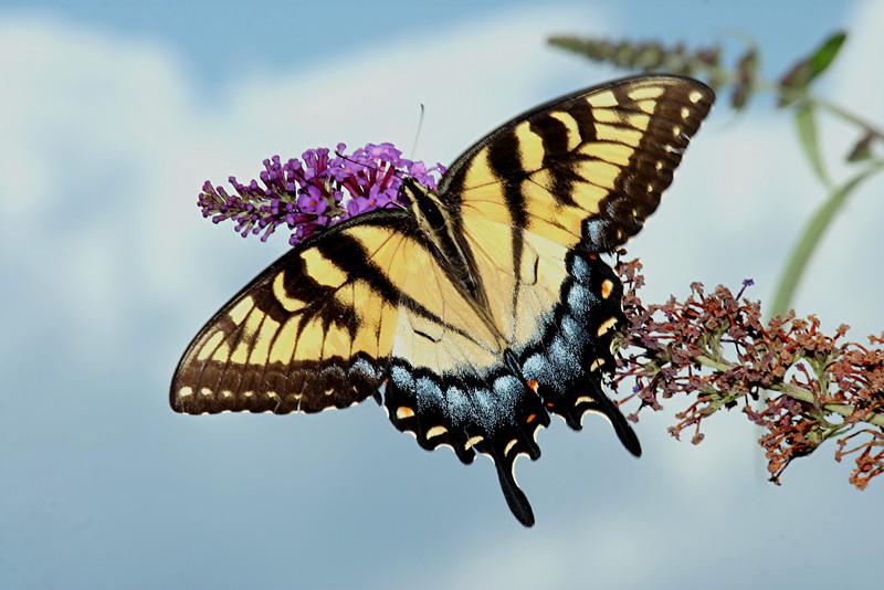 Eastern Tiger Swallowtail, female - Pittsburgh, Pennsylvania