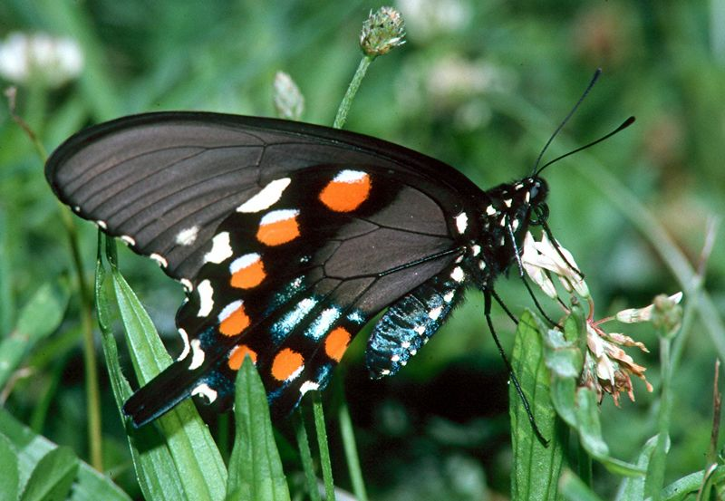 Pipevine Swallowtail - Mingo Creek, Pennsylvania