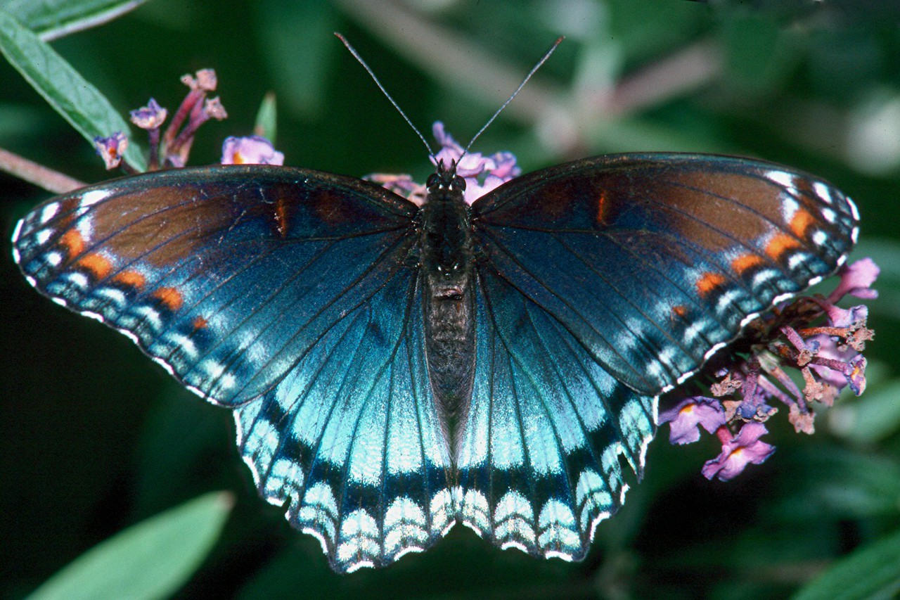Red-spotted Purple - Pittsburgh, Pennsylvania