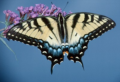 Eastern Tiger Swallowtail, female - Pittsburgh, Pennsylvania