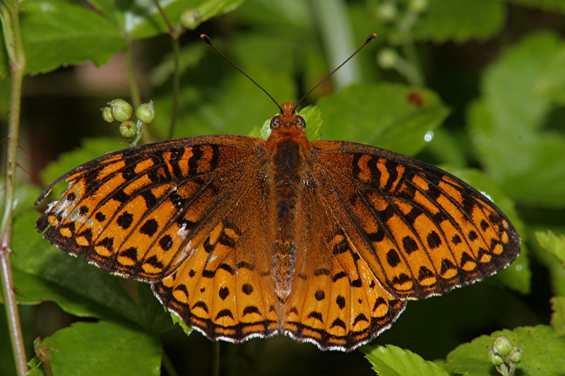 Atlantis Fritillary - Buzzard Swamp, Pennsylvania