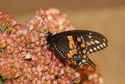 Black Swallowtail, male - Pittsburgh, Pennsylvania