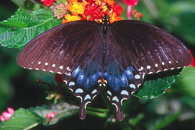 Spicebush Swallowtail, female - Pittsburgh, Pennsylvania
