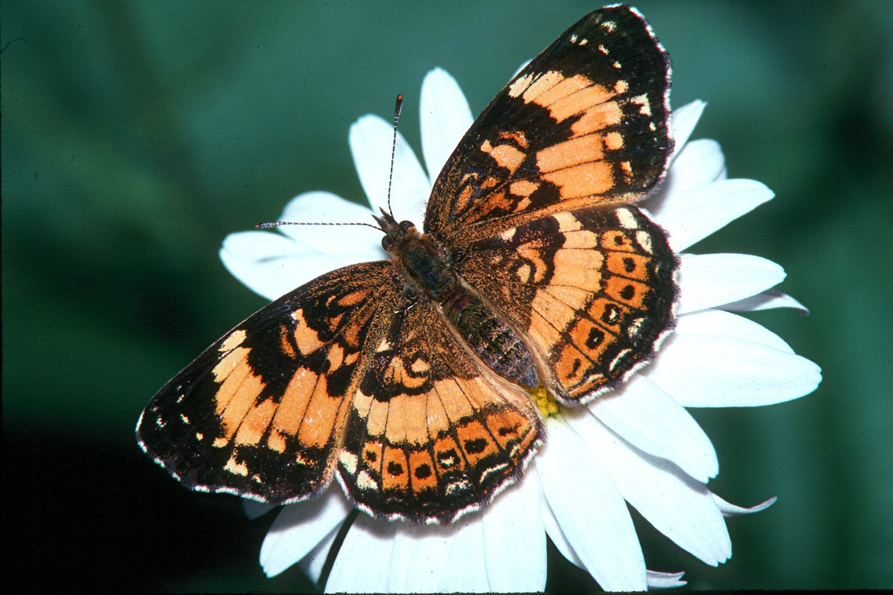 Silvery Checkerspot - Peters Creek, Pennsylvania