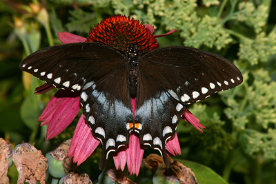 Spicebush Swallowtail, male - Pittsburgh, Pennsylvania
