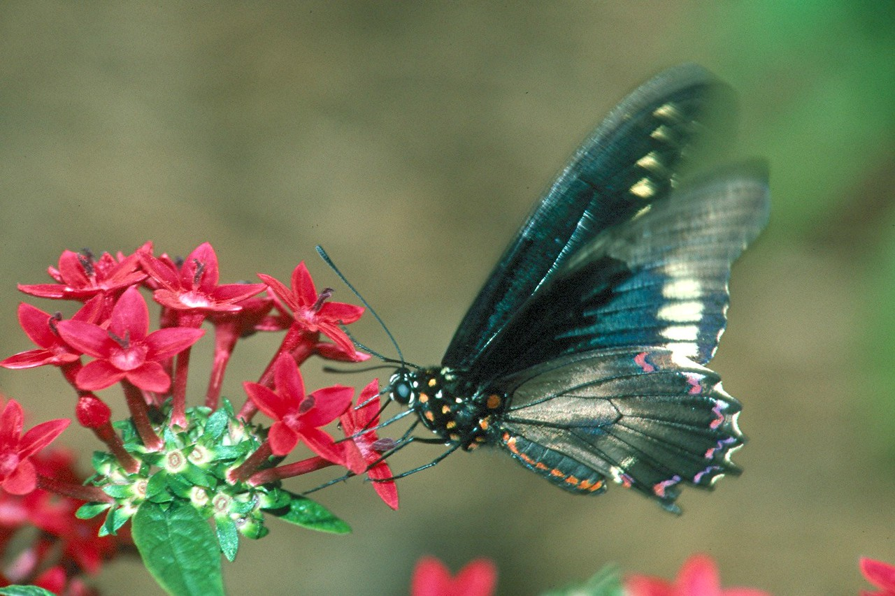 Polydamas Swallowtail - Palm Beach, Florida