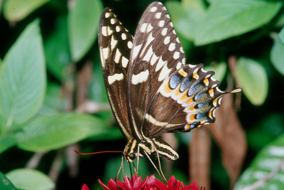 Palamedes Swallowtail - Loxahatchee National Wildlife Refuge, Florida