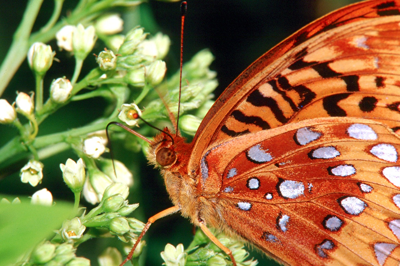 Great-spangled Fritillary - South Park, Pennsylvania