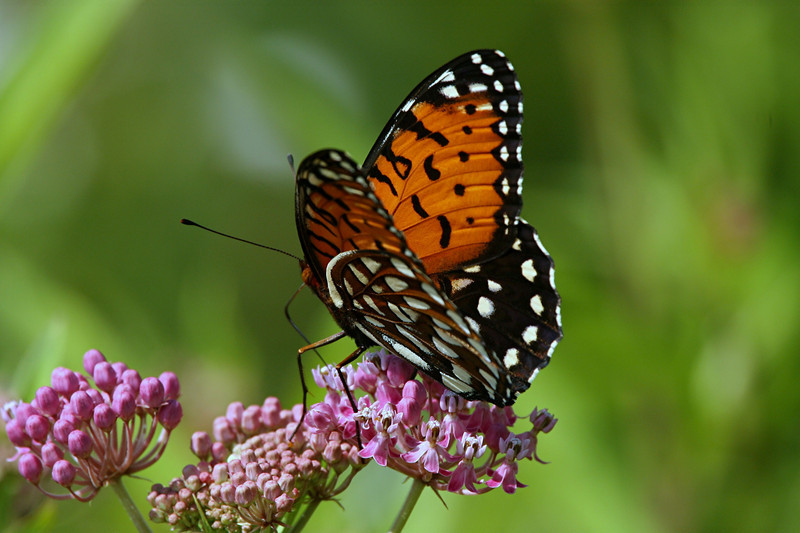 Regal Fritillary, female - Ft. Indiantown Gap, Pennyslvania