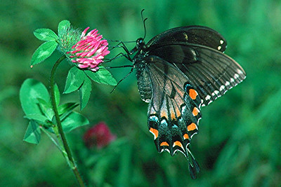 Eastern Tiger Swallowtail, dark female - South Park, Pennsylvania