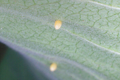 Monarch Eggs - South Park, Pennsylvania