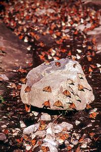 Monarchs - Michoacan, Mexico